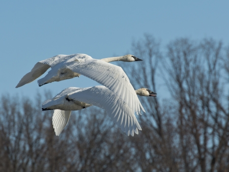 Pair of Swans in flight photo