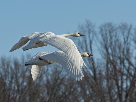 cygnus buccinator: Pair of Swans in flight