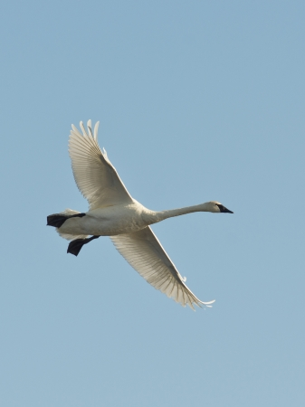 Single Swan in flight photo