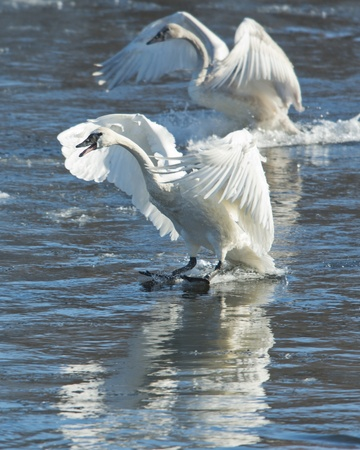 cygnus buccinator: Landing Pair of Swans