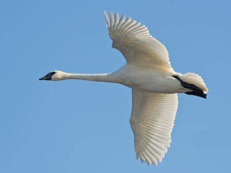 trumpeter swan: Trumpeter Swan