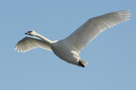 cygnus buccinator: Flying Swan Stock Photo