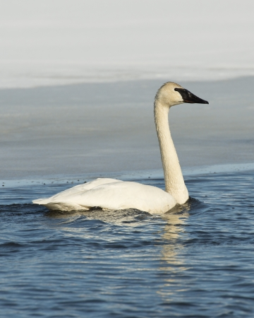 Swimming Swan photo