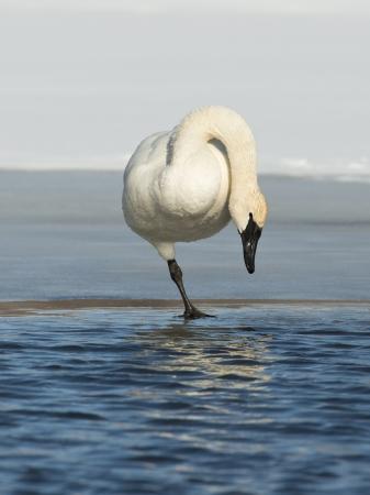 tundra swan: Cisne de pie sobre el hielo Foto de archivo