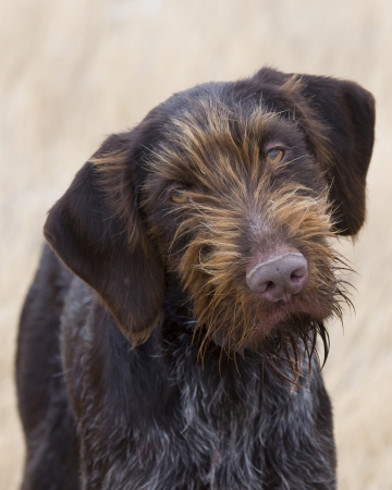 wirehair: Thinking Dog