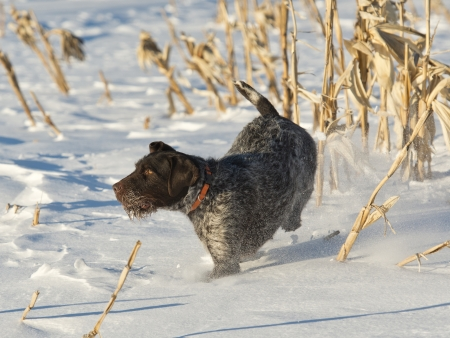Dog out running in a cornfield
