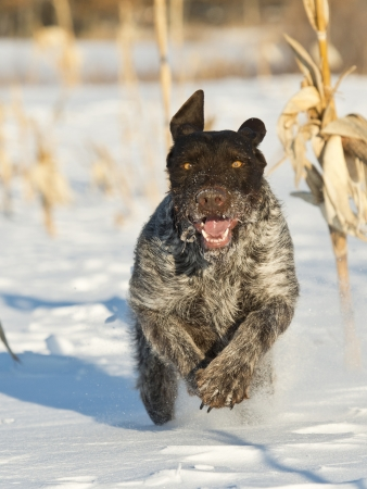 wirehair: Dog Pheasant Hunting