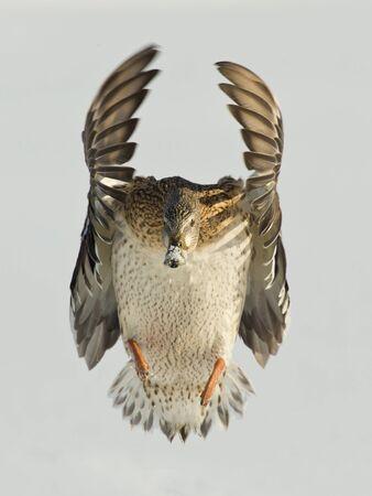 Flying duck photo