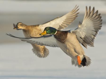 flug: Paar von Enten  Lizenzfreie Bilder