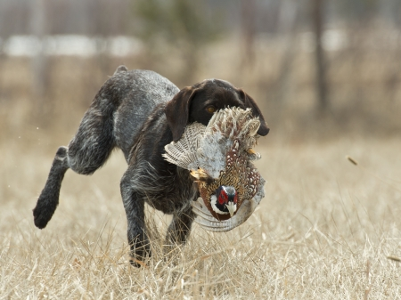 Hunting dog retrieving a pheasant