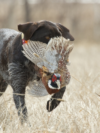 retrieve: Hunting dog with a pheasant