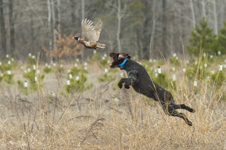 Dog Leaping for a Pheasant photo