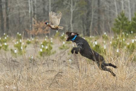 perro de caza: Perro salta por un faisán