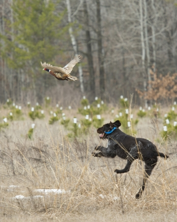 Dog and a pheasant photo