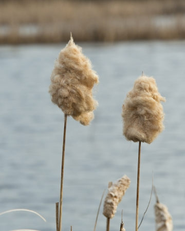 cattails: Spring Cattails