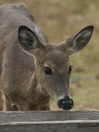 white tailed: Deer at a feeder