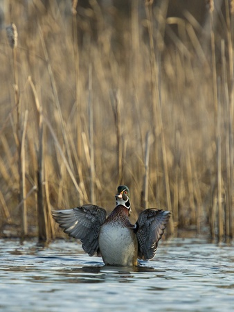 flapping: Flapping Wood Duck