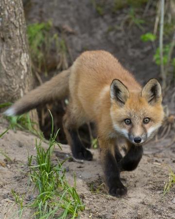 sneaking: Sneaking Fox Stock Photo