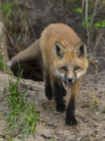 volpe rossa: Red Fox