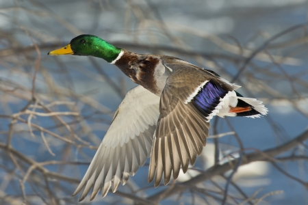 Mallard flying in the trees