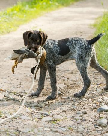 Puppy Retreiving a Duck