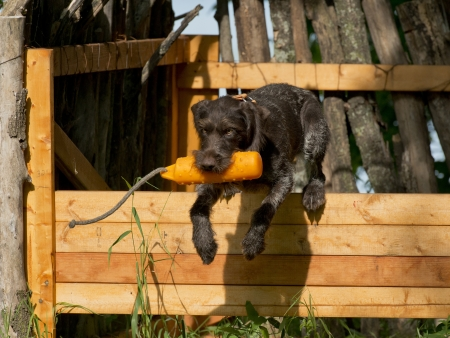wirehair: Dog Training