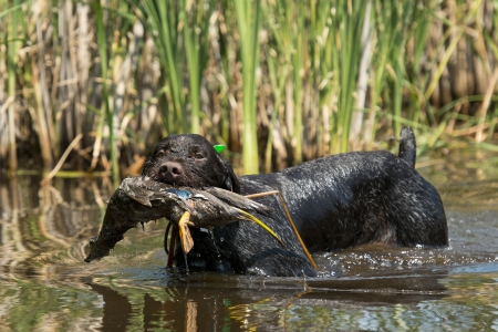 Duck Hunting dog Stock Photo - 21158811