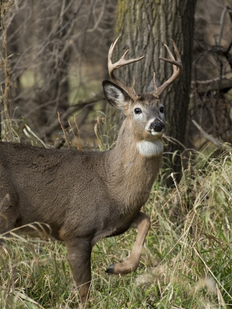 whitetail buck: Deer with leg up Stock Photo