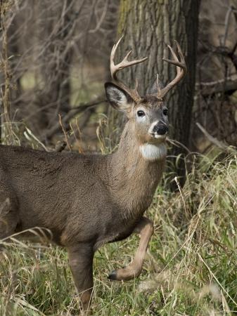 buck: Deer with leg up Stock Photo