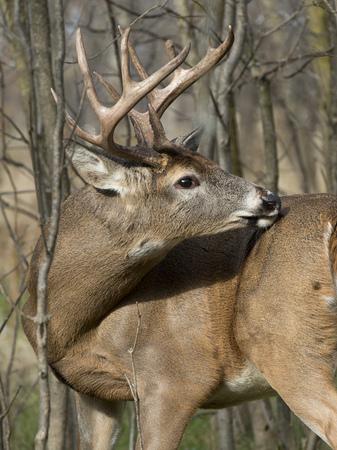 buck: Large Deer