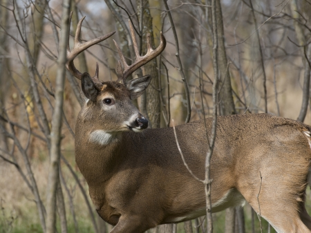 white tailed deer: Large Buck looking back