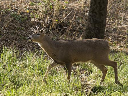 white tailed: Walking Deer