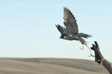 鷹匠の手から跳躍ファルコン 写真素材