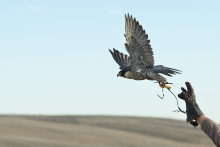 Falcon leaping from a falconers hand