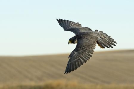 Peregrine Falcon Caccia Archivio Fotografico - 24187498