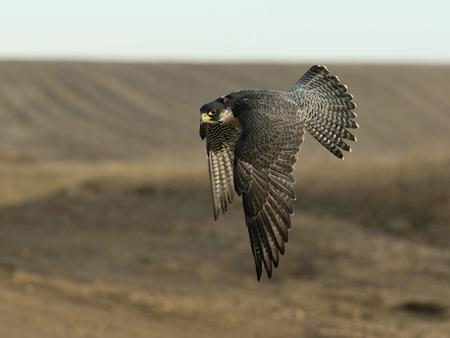 Flying Peregrine Falcon Reklamní fotografie