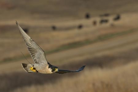 falconry: Peregrine Falcon