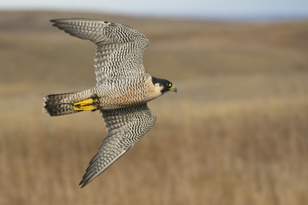 Flying Peregrine Falcon Stock Photo