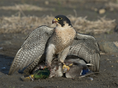 Falcon with a duck