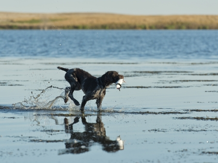 Dog in shallow water with a duck Stock Photo
