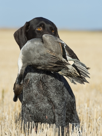 wirehair: Hunting Dog with a Duck
