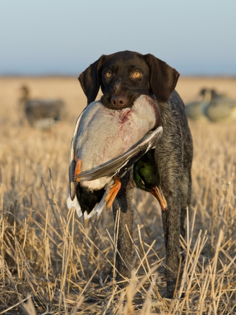 wirehair: Waterfowl Hunting