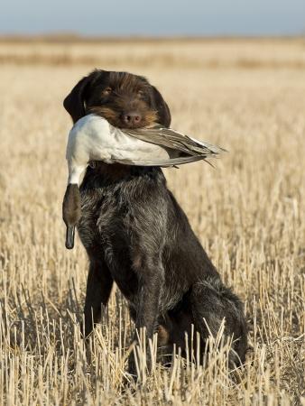 perro de caza: Perro de caza Foto de archivo
