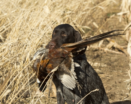 wirehair: Hunters Dog