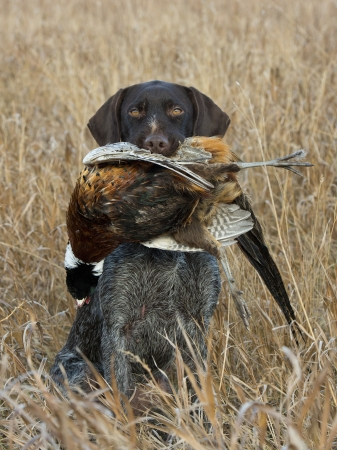 Pheasant Hunting photo