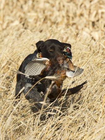 perro de caza: Perro de caza con un faisán