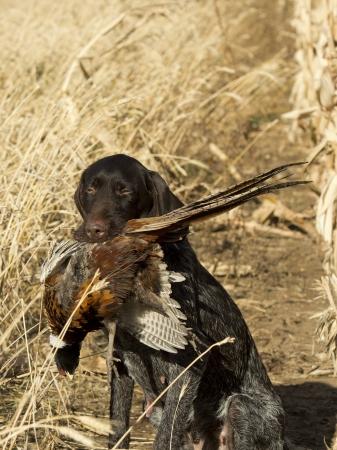 drahthaar: Pheasant Dog