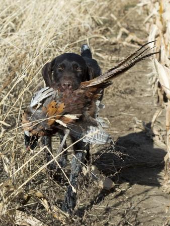 wirehair: Pheasant Hunting