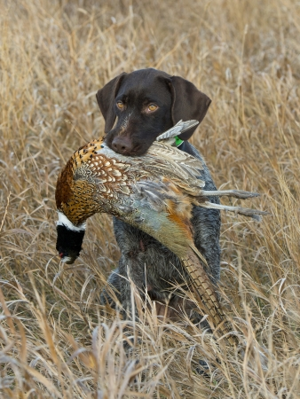 Pheasant and a Dog photo