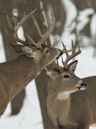 Sniffing Bucks photo